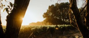 A view of the vineyards through the silhouette of Oak Trees
